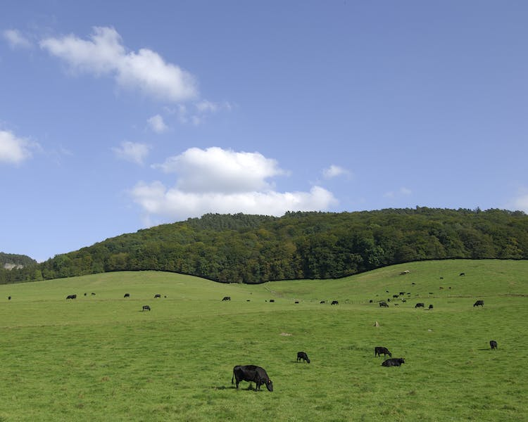 Happy cows in the neighbourhood - Hotel Brimer Sights and activities Mullerthal