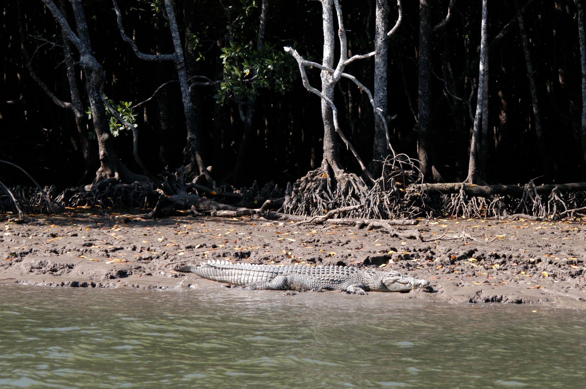 Crocodile in the wild on the Daintree River.
