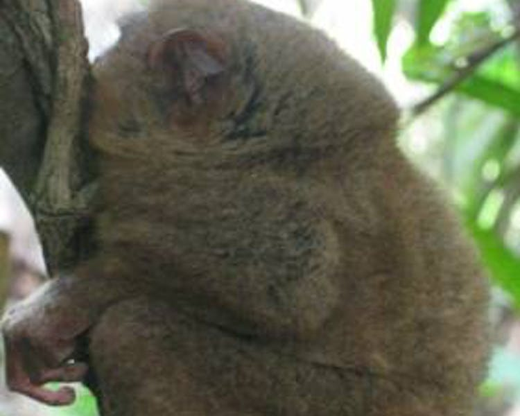 A great view of Tarsier in Bohol
