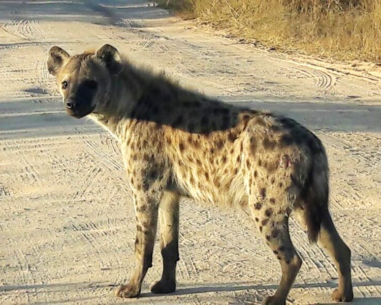 Large spotted Hyena