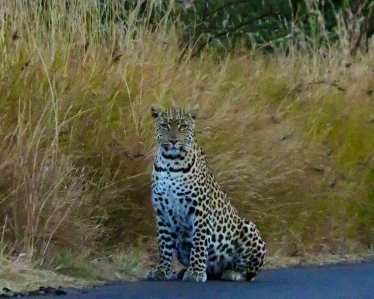 Spotted this leopard on safari