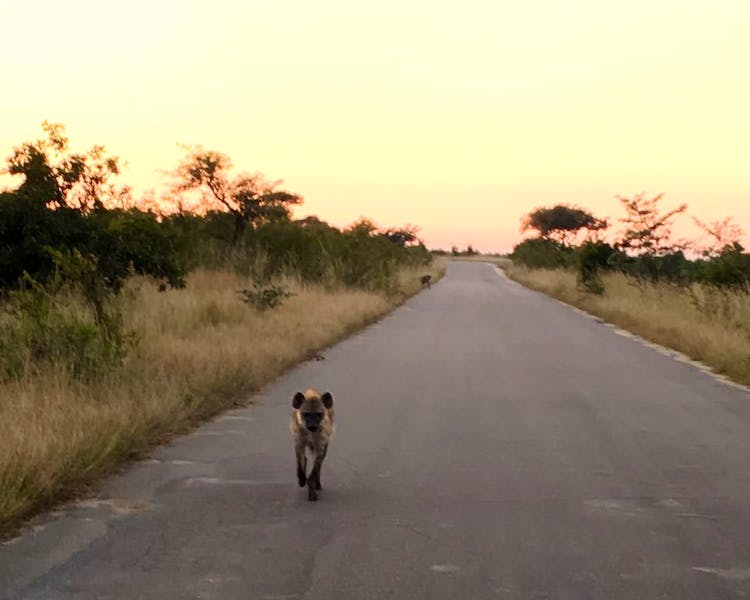 Spotted Hyena seen on drive