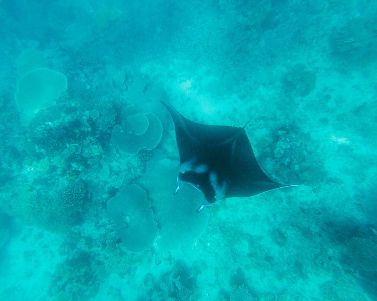 Manta Ray Snorkel Tour - The Remote Resort Fiji Islands
