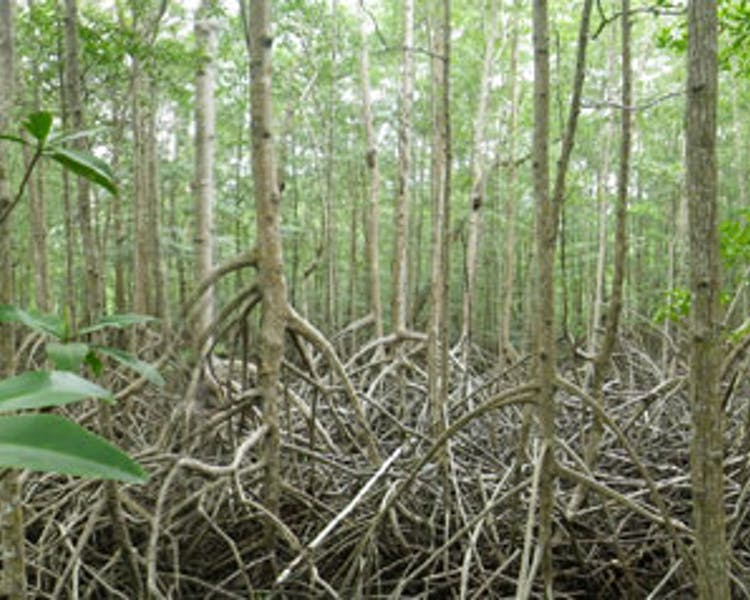 Nearby Attraction - Mangroves in Panama