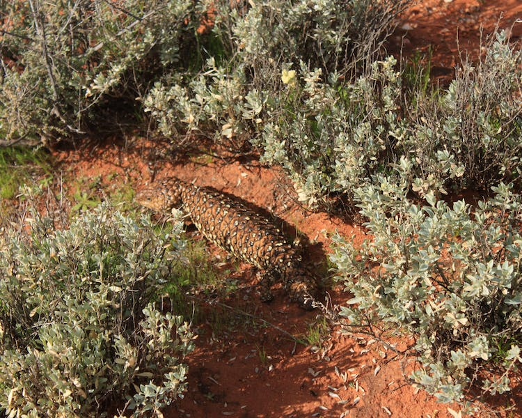 Red dirt lizard salt bush Broken Hill