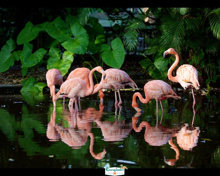 Flamingos at the Everglades Wonder Garden