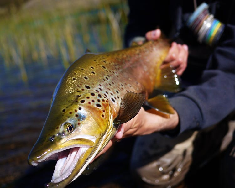 Brown trout de la Patagonia.