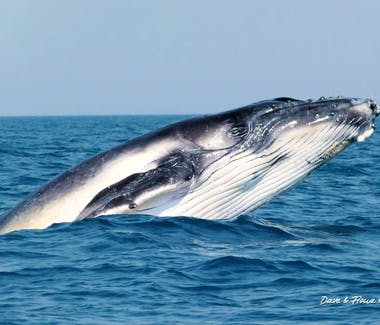 whale off Busselton