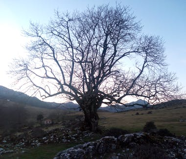 Old ash tree in Lexargorta at the sunset. Ellauri Hotel