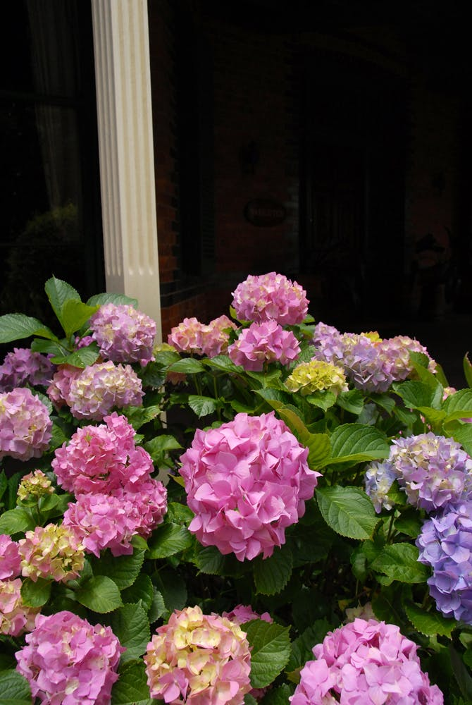 Flowering hydrangeas at Vacy Hall Toowoomba's Grand Boutique Hotel