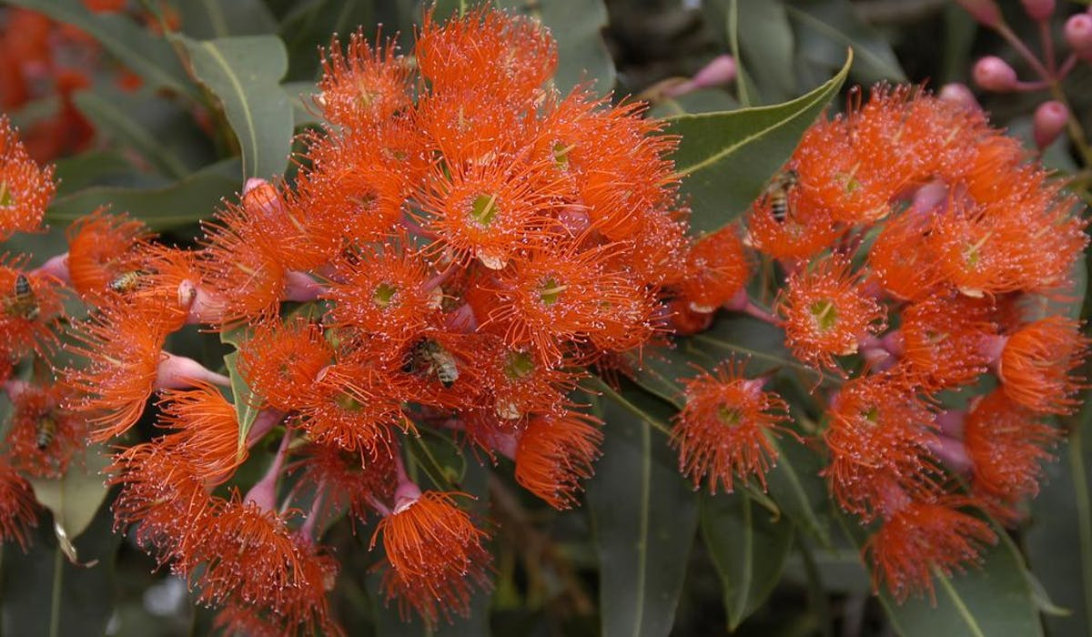 "Ficifolia Eucalyptus ""red flowing gum tree"""