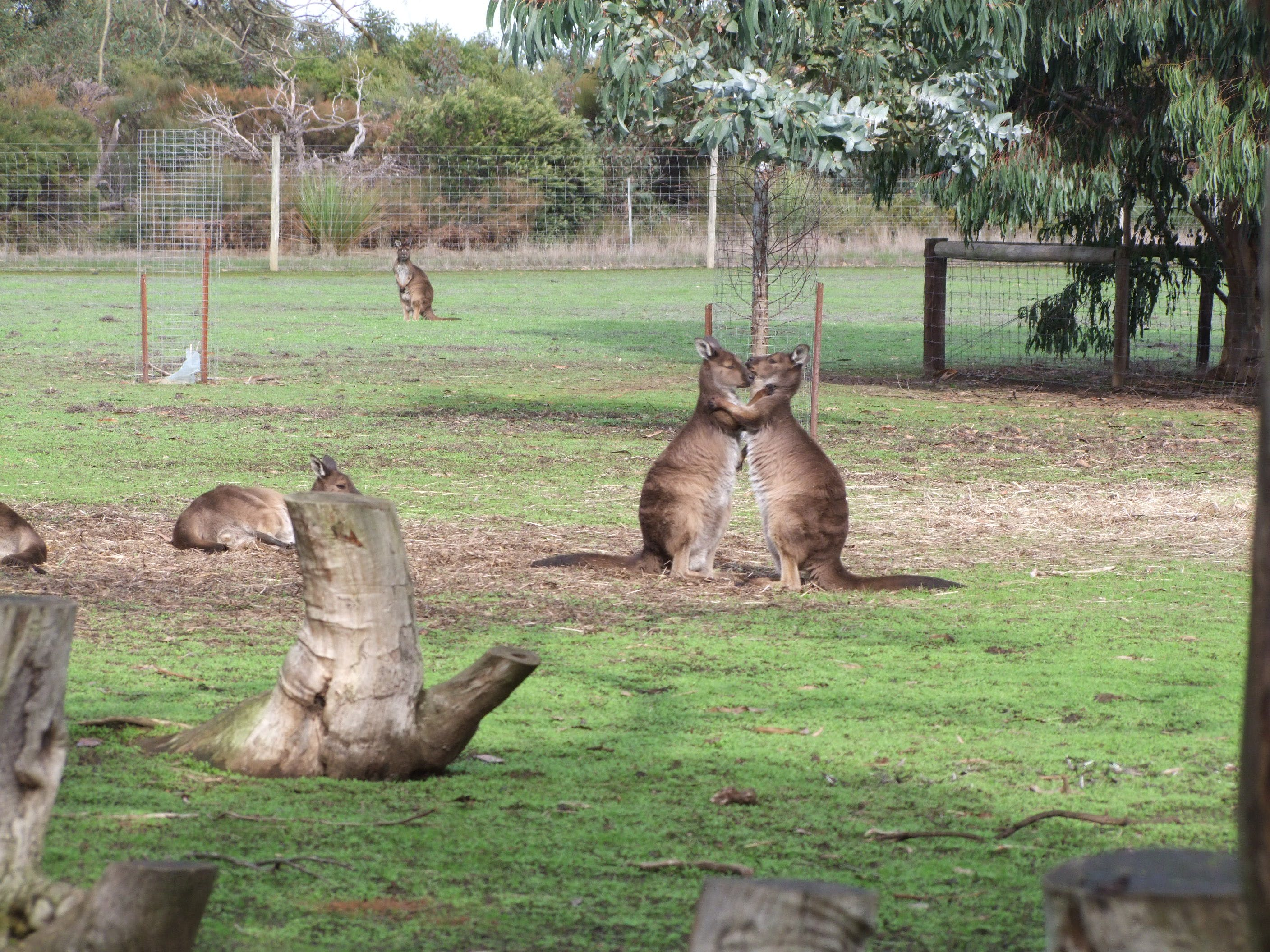 #We love our Kangaroos at Kangaroo Island Wildlife Park Parndana