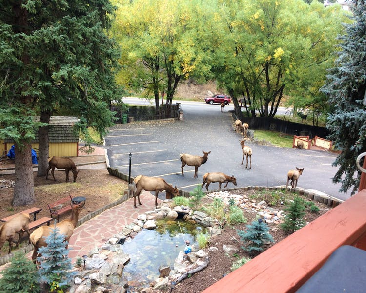 Small herd of Elk on the driveway