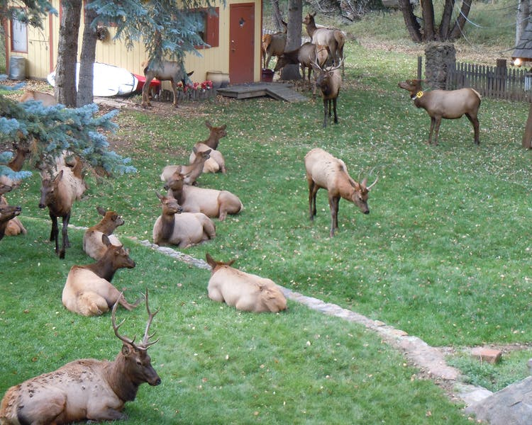 Small herd of Elk on the front lawn