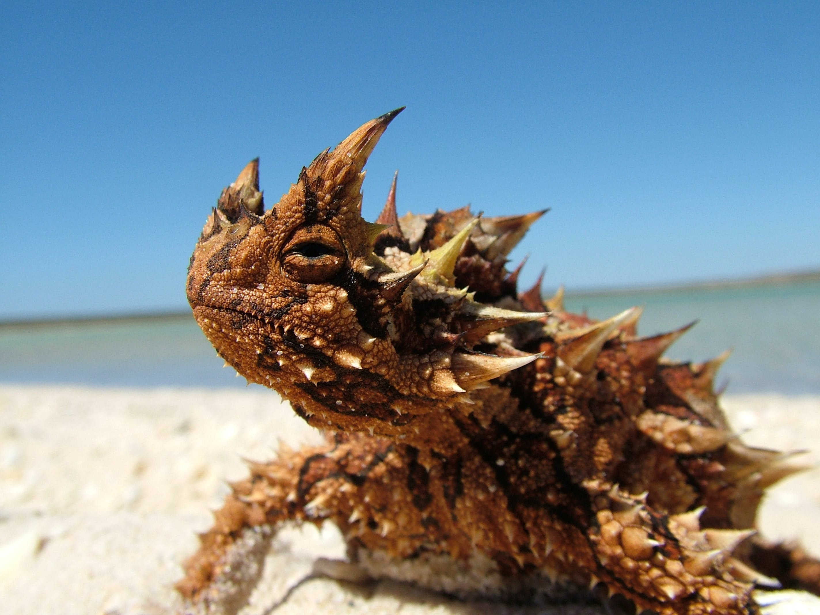 Thorny Devil at Little Lagoon