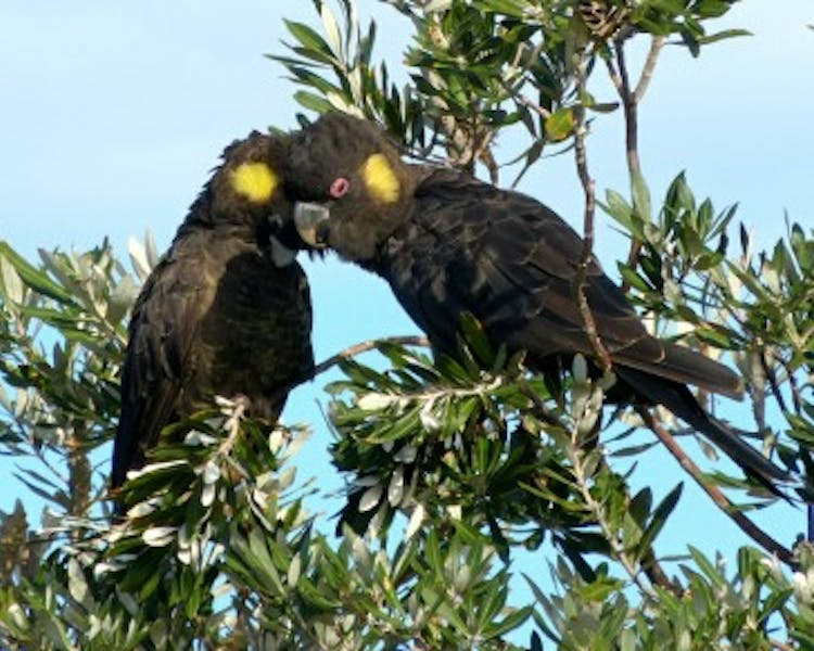 Yellow tailed cockatoos