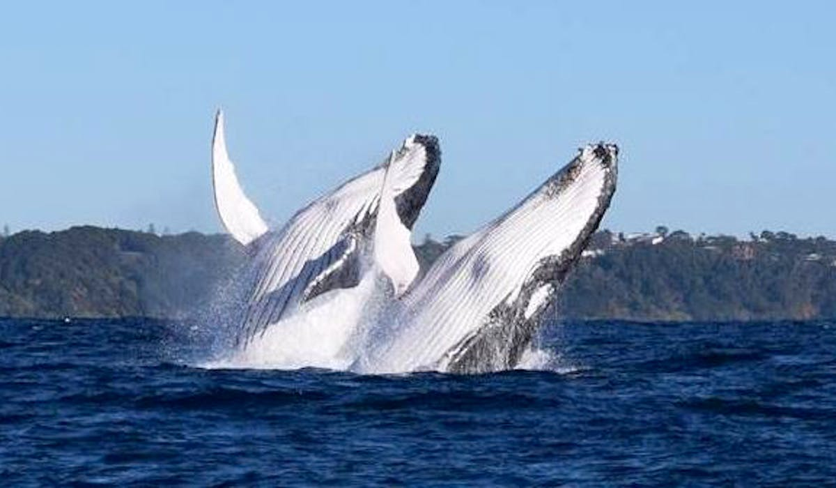 Humback whale migration September to November