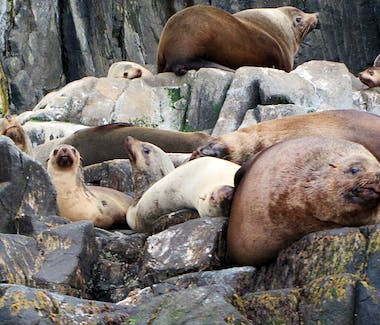 Bruny Island Seals