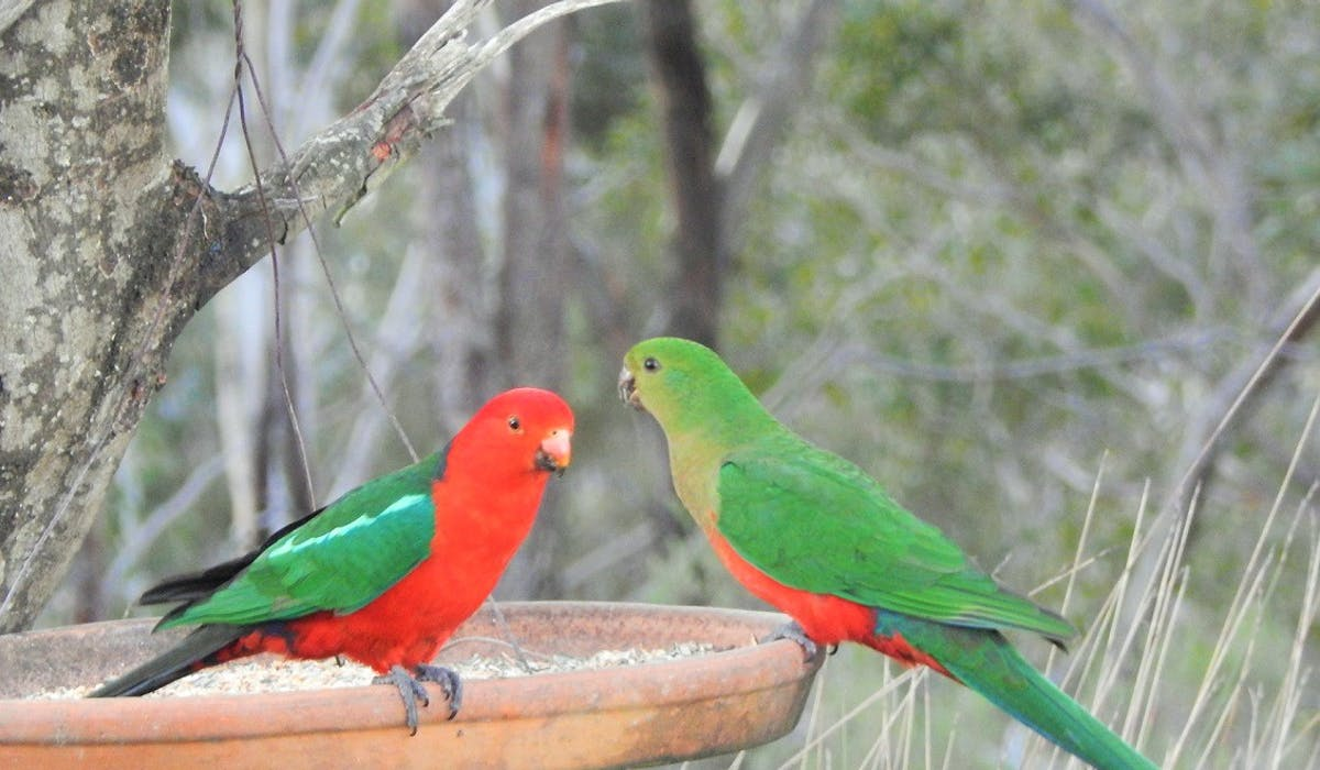 Local King Parrots