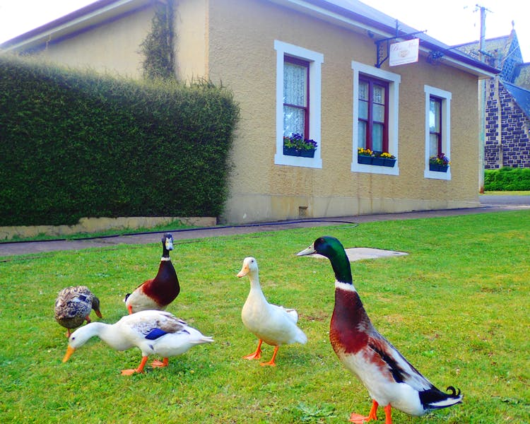 Ducks from the nearby Meander river visit Blakes Manor.