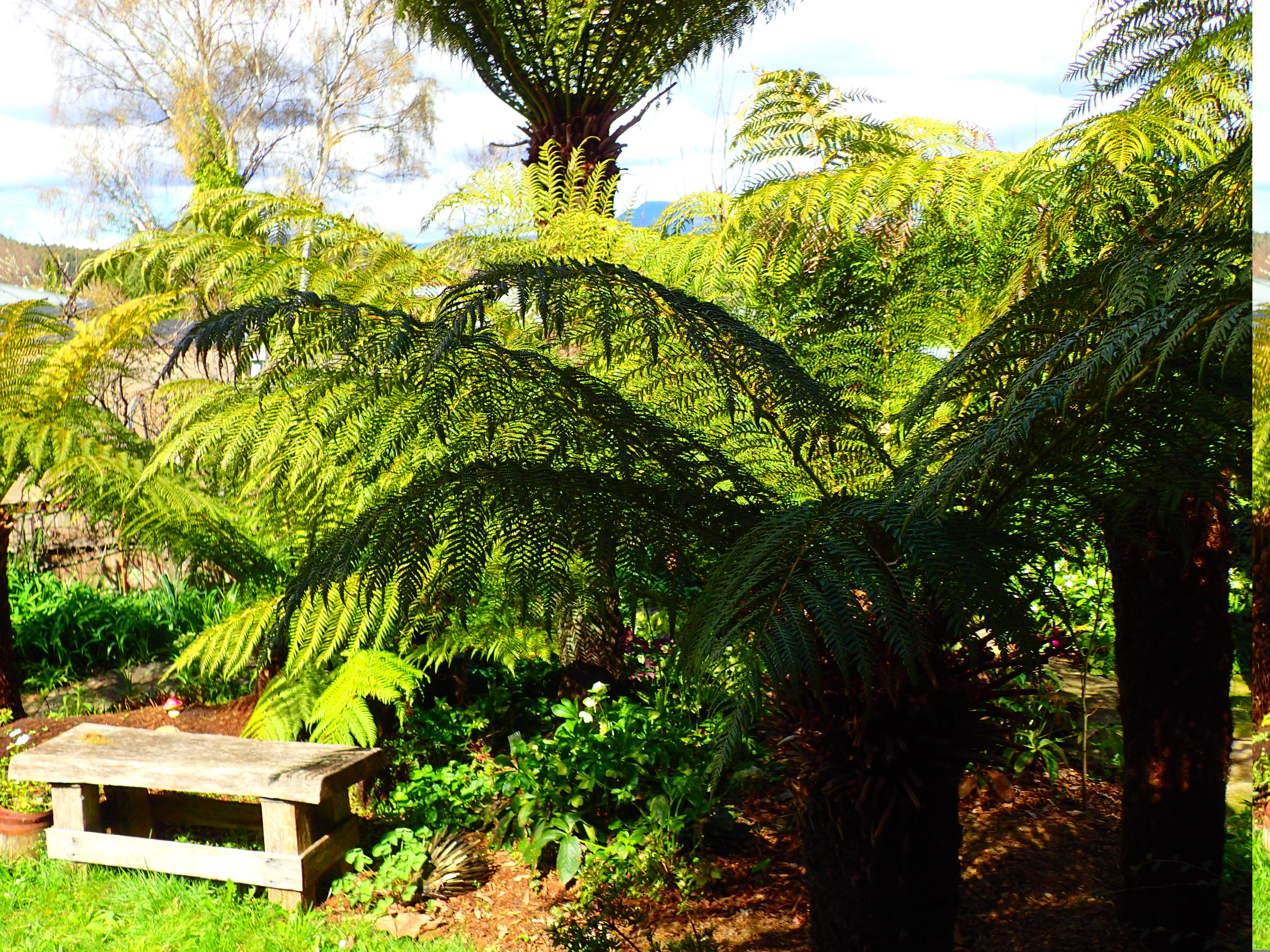A shady spot full of tree ferns near the Garden Suite in the heritage garden of Blakes Manor.