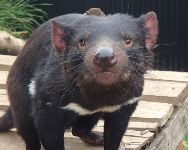 Tasmanian Devils at Trowunna Wildlife Park.A great place to see while staying at Historic Blakes Manor