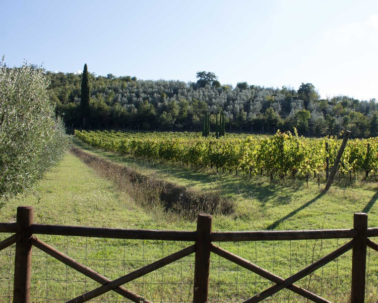 Casa Portagioia Tuscany bed and breakfast , Sangiovese vines