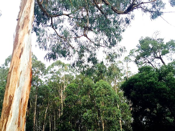 See our towering gums at Gracefield up close by having a walk around the property.
