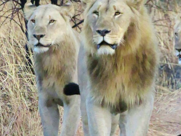 Brothers on the prowl - two male lions