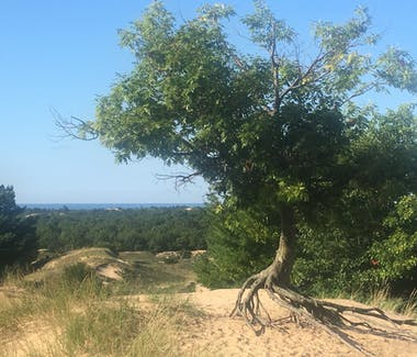 Ludington State Park - Up-rooted tree on sandunes at north end of Ridge Trail.