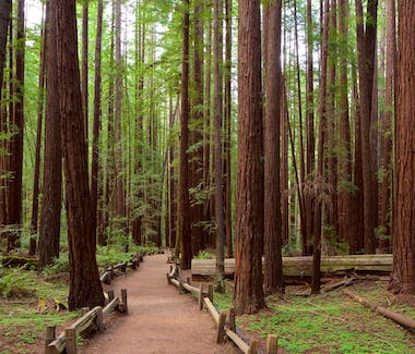 California Redwood trees. Sequoia, Big Sur, hiking, bodega bay