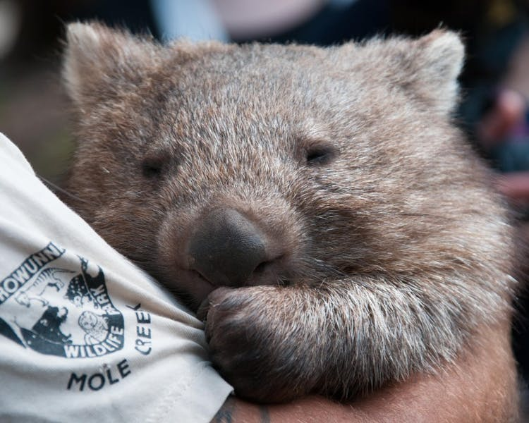 Baby Wombat next door at Trowunna