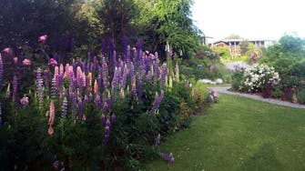 Cottage gardens Lupins in bloom