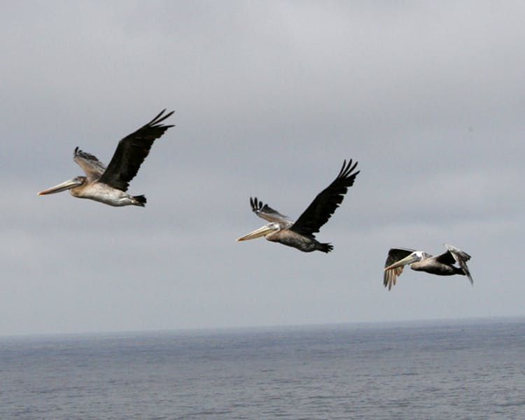 Two pelicans flying