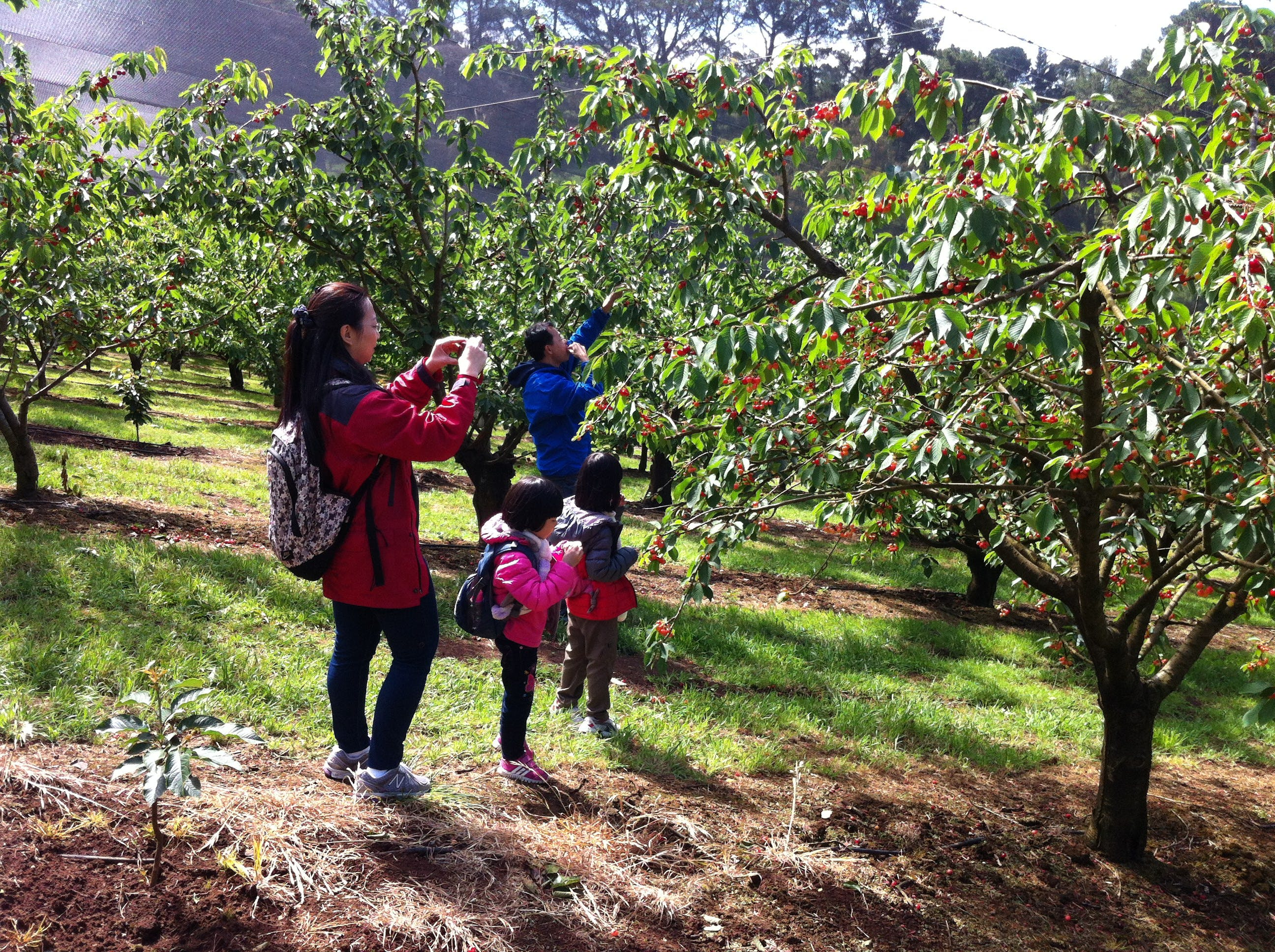 Short drive to cherry picking at Mainridge.