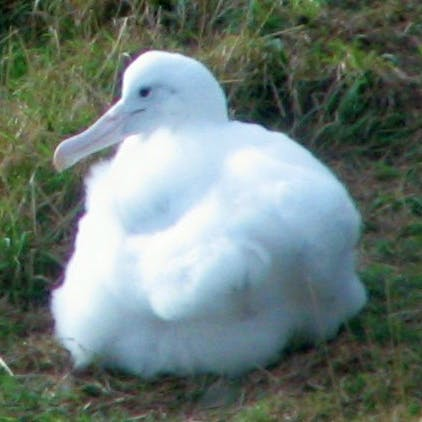 Dunedin Leisure Lodge Attractions - Albatross Colony