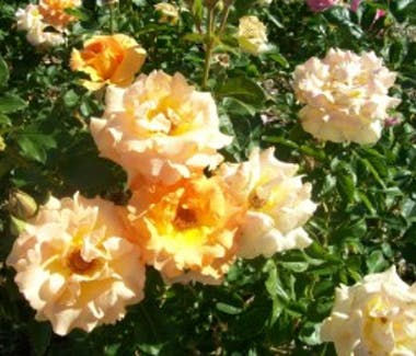 City of Goulburn Rose