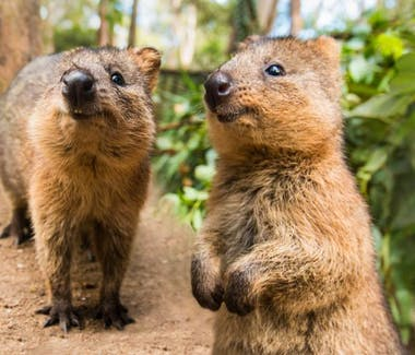 Quokka, Quokkas are found on some smaller islands off the coast of Western Australia, Rottnest Island just off Perth