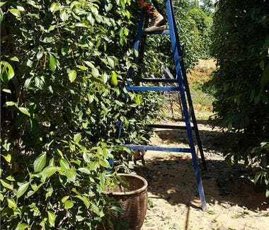 Pepper Farm Harvest in Phu Quoc