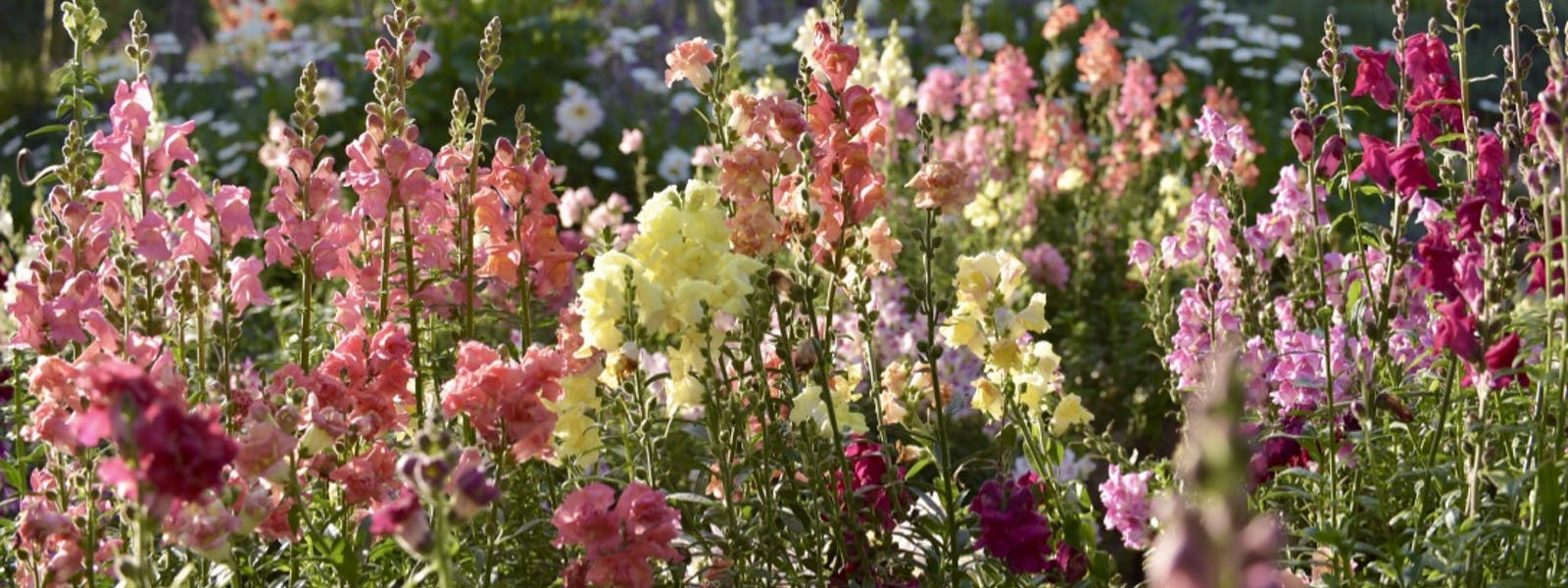 We love our snapdragon flowers!