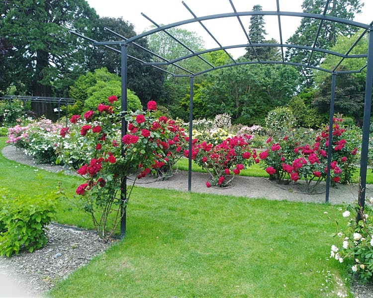 Ashburton Domain Rose Garden