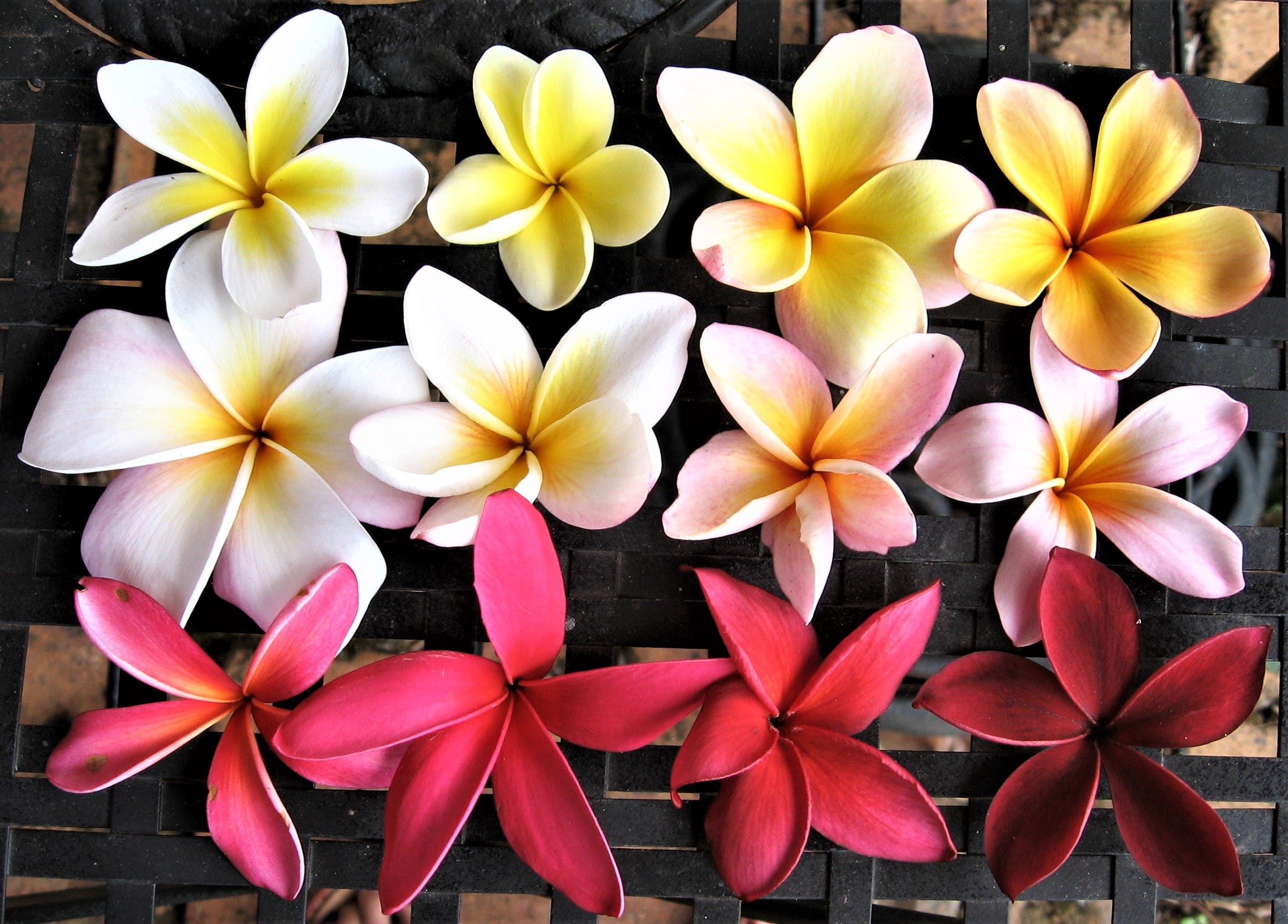 Frangipani colours at The Figs Byron