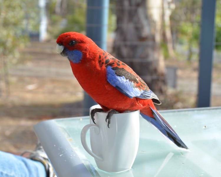 Wildlife at Blue Ridge Retreat - Robbie the Rosella