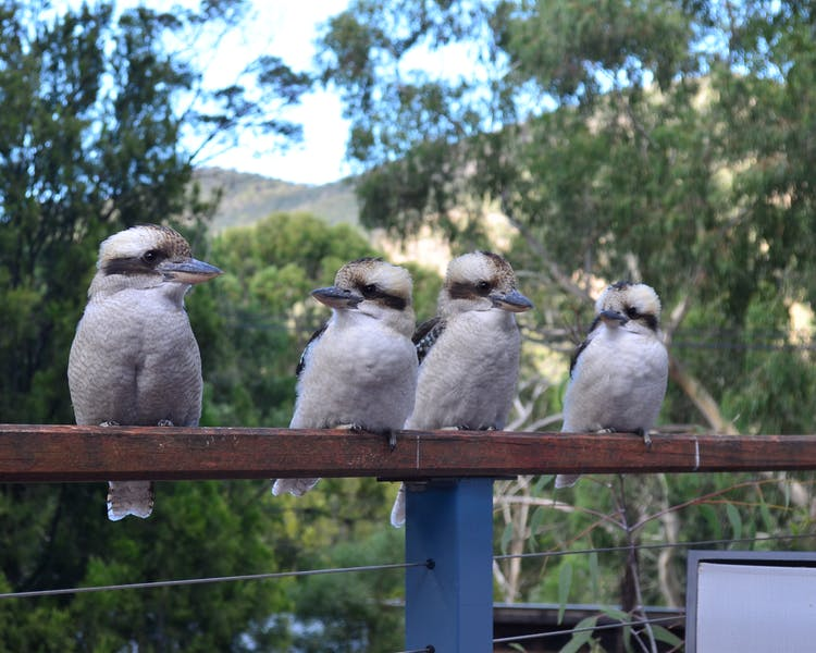 Wildlife at Blue Ridge Retreat - Kookaburras