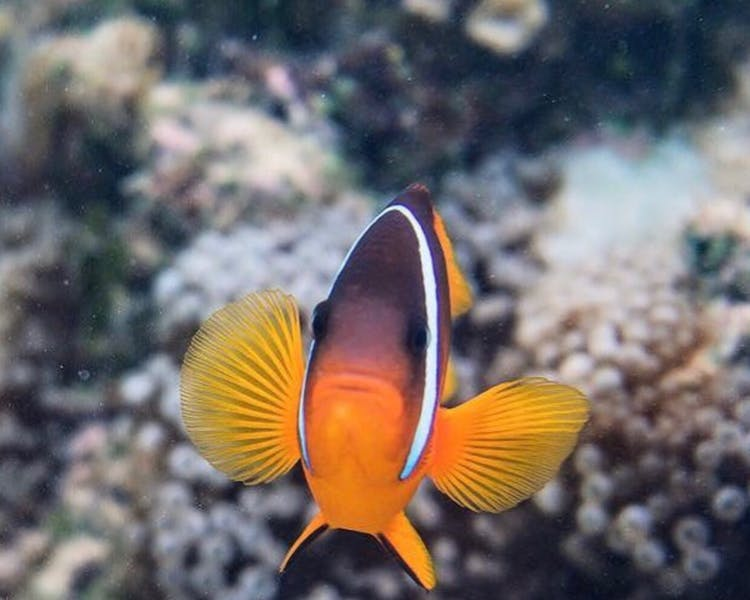 beachfront boutique hotel coral coast fiji snorkelling clown fish nemo