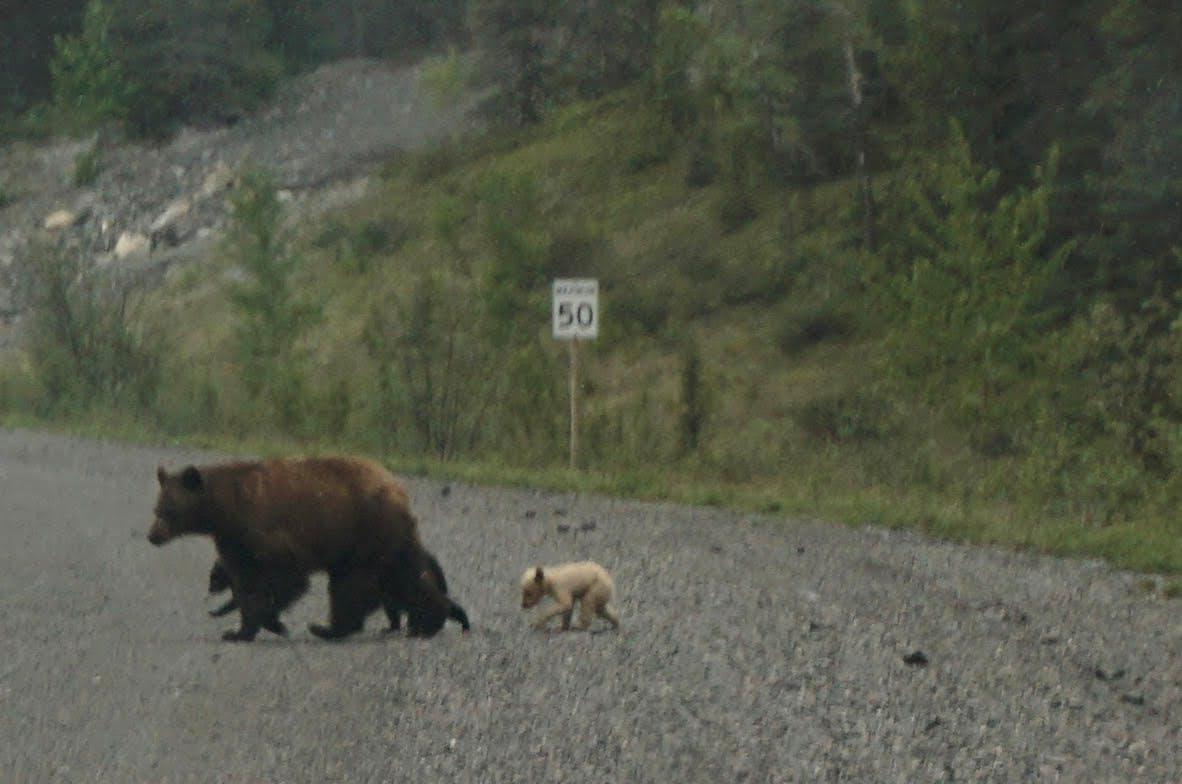 Guest photo of rare blonde bear and family taken near Canmore April 2018