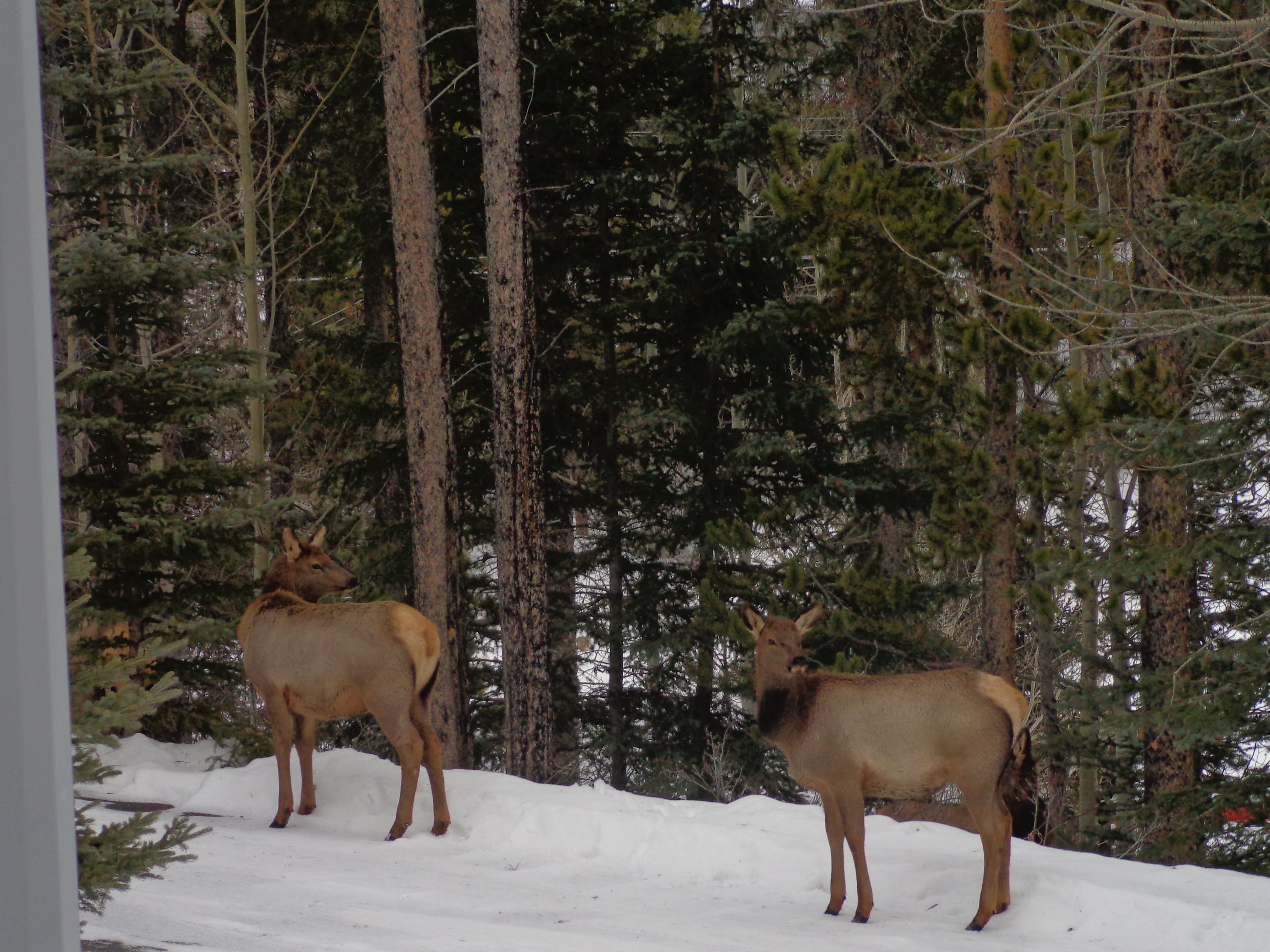 Groups of elk are frequent tourists around Ballyrock in Canmore