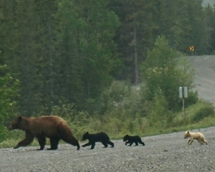 Three little bears and mama on their way to the picnic - cute blonde bear cub will be a hit.