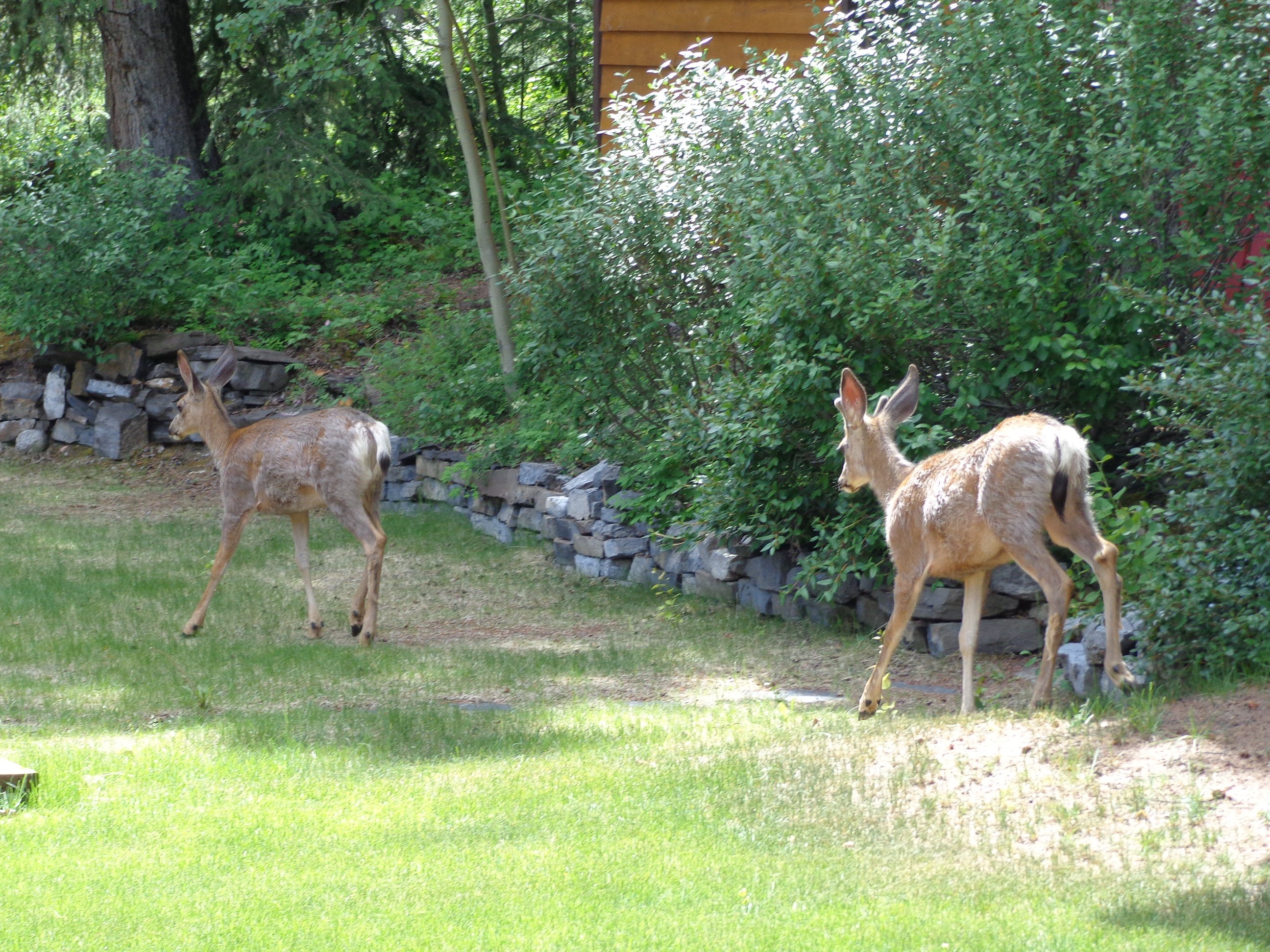 Young deer roam the property regularly