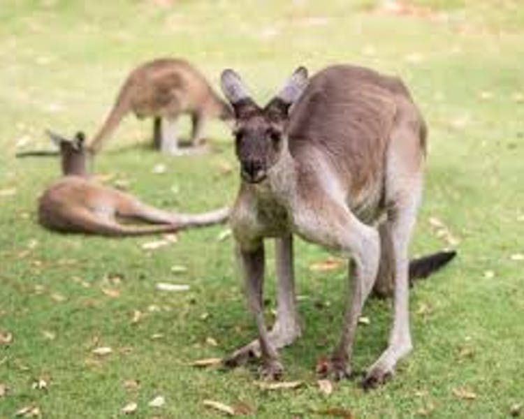 Feed the kangaroos at Caversham Wildlife Park